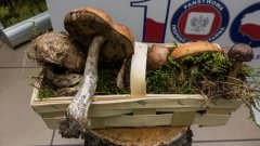 Ostrów Mazowiecka - Dziś otwarto wystawę grzybów w siedzibie Powiatowej Stacji S