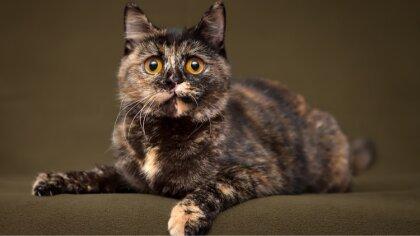 Ostrów Mazowiecka - Trudno tak jednoznacznie podać konkretną liczbę ras kotów. F